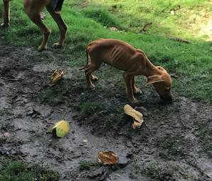 dog rescue jamaica starving puppy
