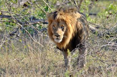 Male lion in national park in South Africa
