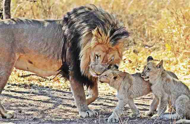 Male lion with his two cubs