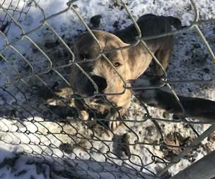 dog rescue pit bull virginia