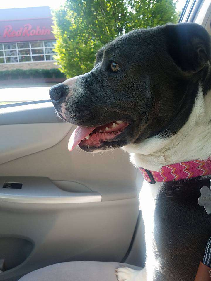Pit bull riding in front seat of car