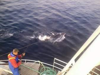 Minke whale harpooned in water