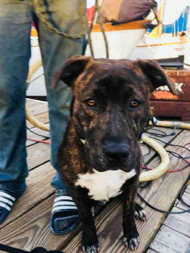 Tiger, the pit bull saved from a burning boat