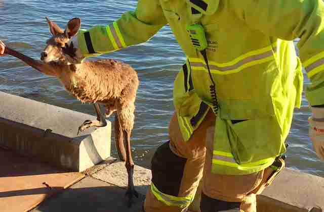 Firemen freeing trapped kangaroo in Queensland