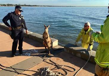 Police and firemen with wild kangaroo they rescued