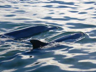 Wild bottlenose dolphins in Shark Bay, Australia