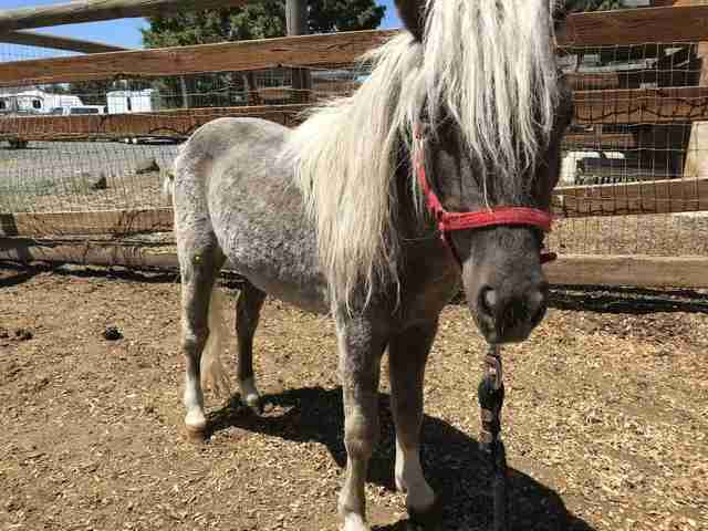 rescue horse mini oregon