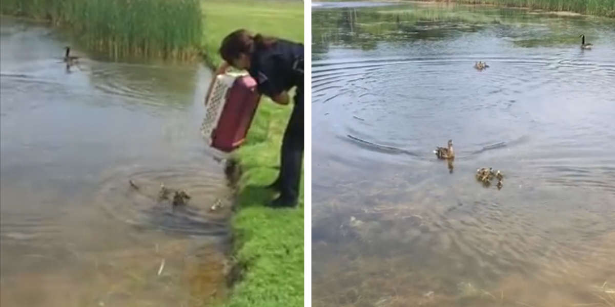 Cop Dumps 10 Orphaned Ducklings Into A Pond — Then Something Amazing Happens