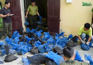 Live pangolins confiscated from truck in Vietnam