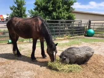 rescue ponies neglect iowa