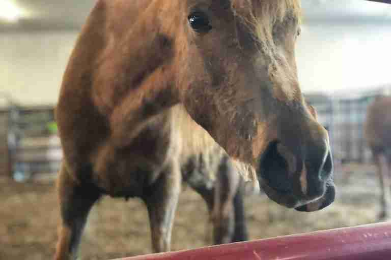 rescue pony abuse iowa