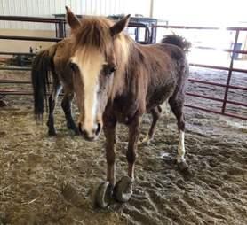 iowa pony rescue