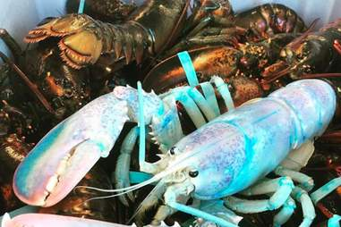 Lucky, the cotton candy white lobster