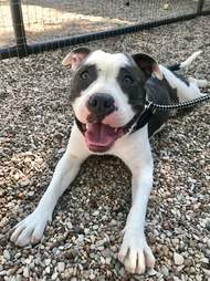 rescue pit bull texas
