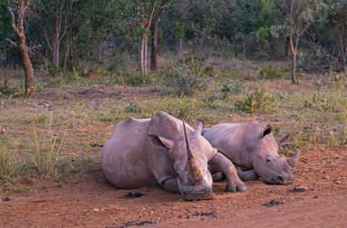 Wild rhinos resting together