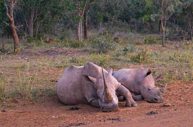 Wild rhinos resting together