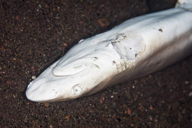 Shark finned and left to die in Indonesia