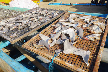 Shark fins drying