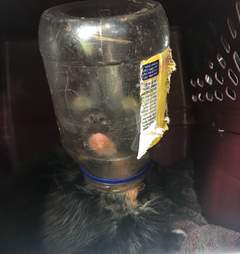Cat with mayonnaise jar on head