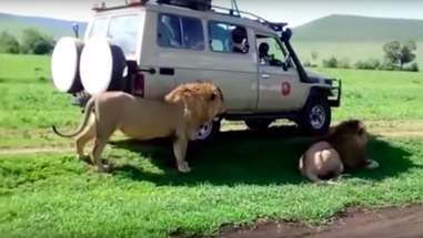 lion growls at tourists africa