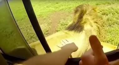 lion safari tourist