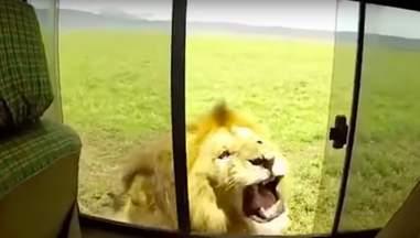 lion scares tourists safari