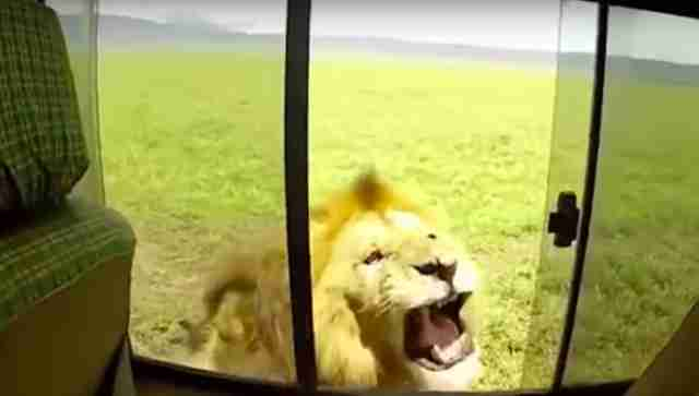 lion scares tourists safari