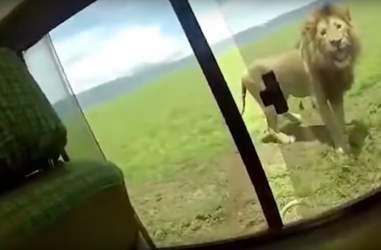 lion scares tourist africa safari