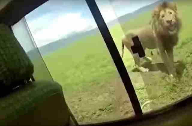 lion scares tourist africa safari