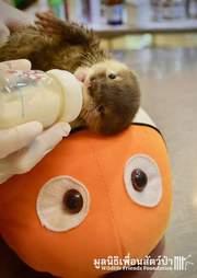 Baby otter being fed bottle of milk