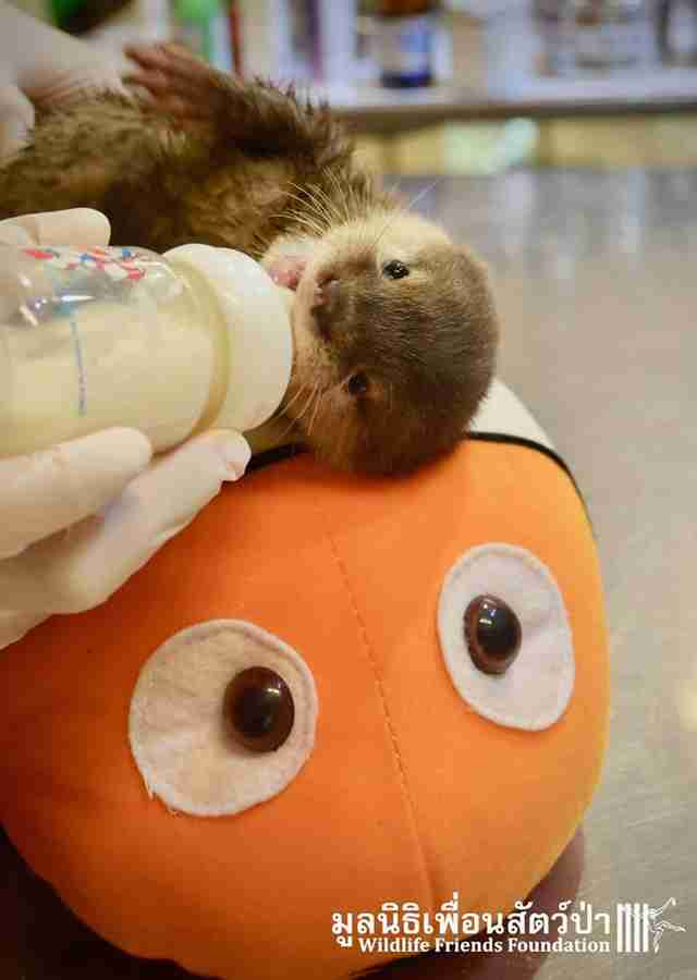 Baby otter being fed bottle of milk