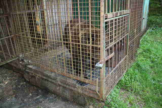 Bear caged up at hunting station in Ukraine