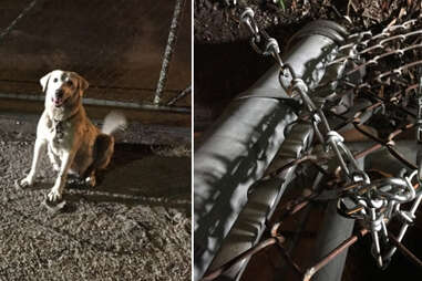Abandoned Lab mix chained to fence