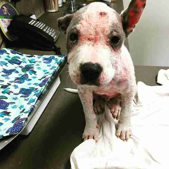 sick hairless pit bull abandoned