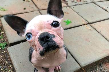 Abigail the Boston terrier tilting her head for the camera
