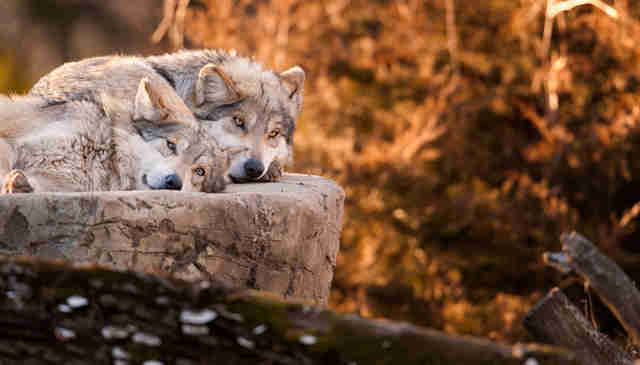 Rare Mexican gray wolves resting on a rock together