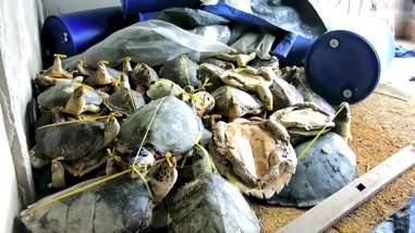 turtle poaching vietnam raid