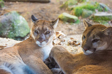 Two mountain lions resting in the shade