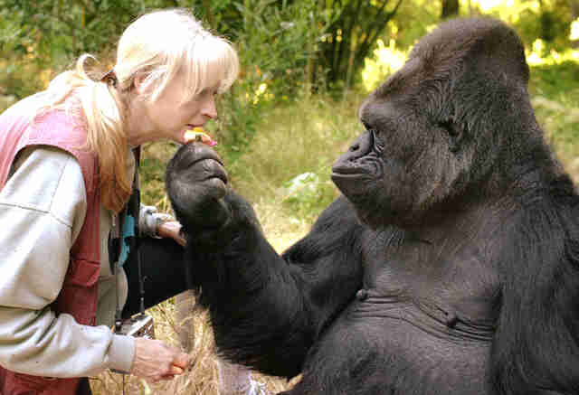 Woman with Koko the gorilla