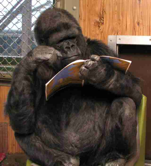 Captive gorilla reading a book
