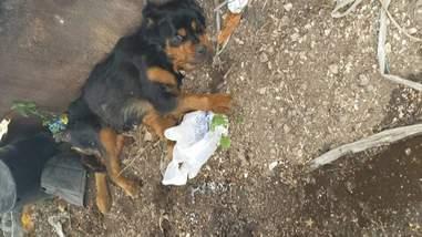 rottweiler rescue florida