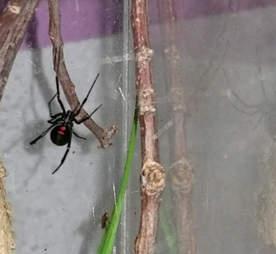 black widow spider pet