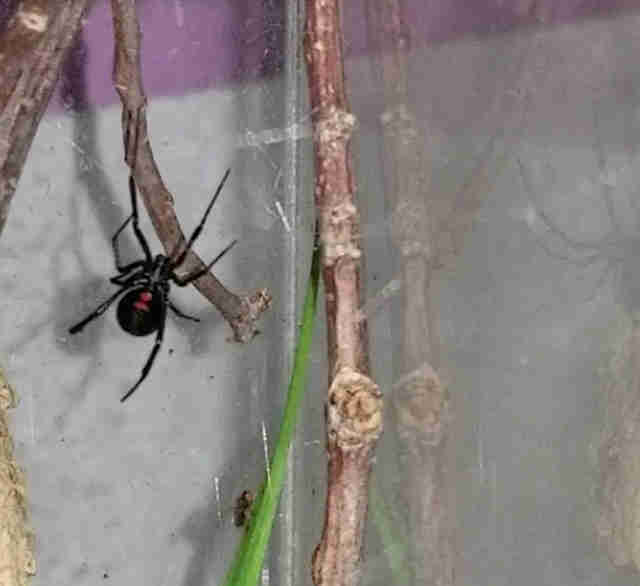 black widow spider pet