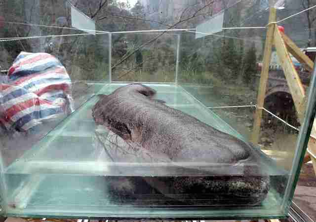 Chinese giant salamander in tank