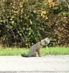 Young fox stuck in jar outside Florida firehouse
