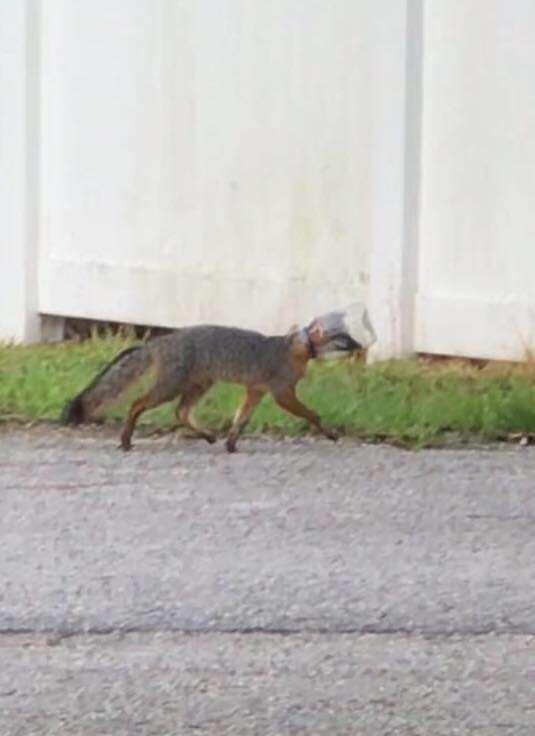 Fox with head stuck in mayo jar