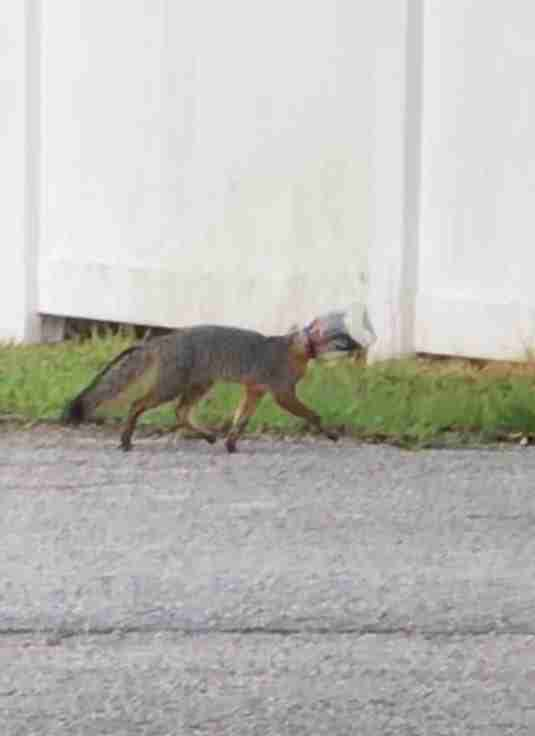 Fox with head stuck in mayo jar