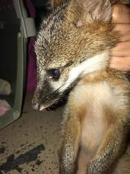 Wild baby fox free from jar