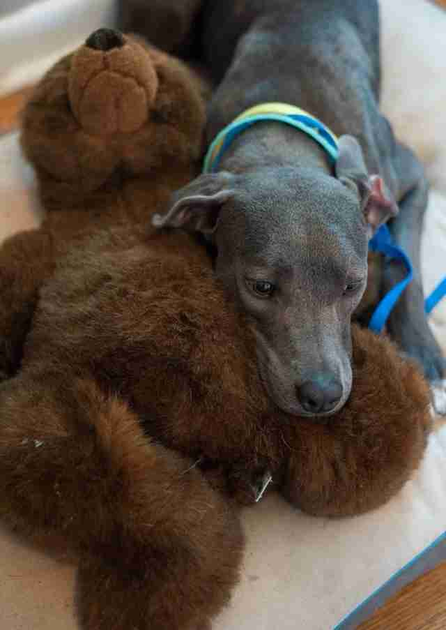 Dog cuddling with teddy bear