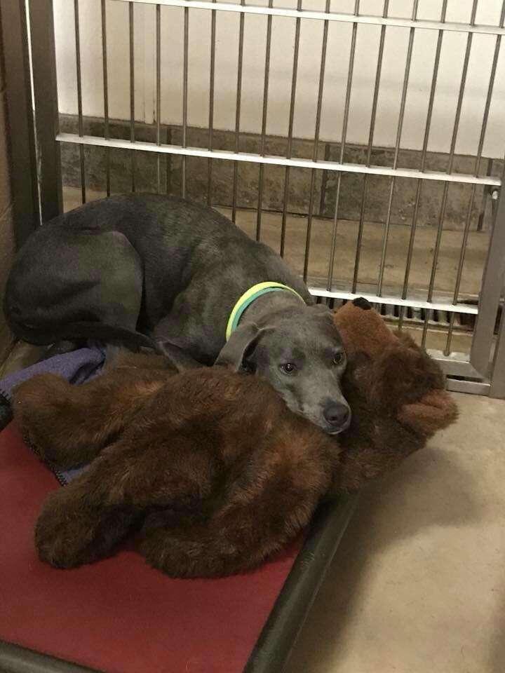 Blue lacy dog cuddling with teddy bear